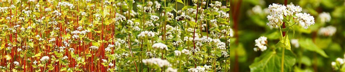 Buchweizenfeld - Buchweizenpflanzen - Buchweizenblüten Closeup