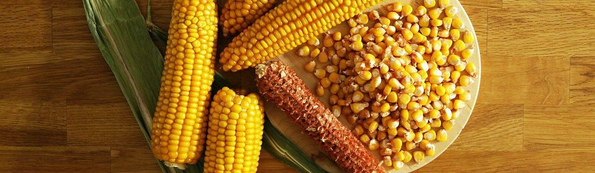 Reifer Mais - Kolben und Körner