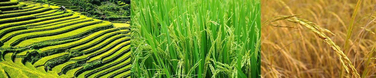 Reisfelder - Reisrispen - Reis Rispe Closeup