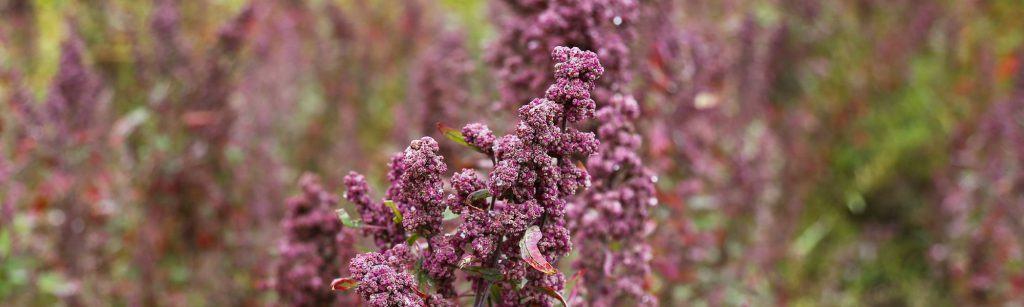 Quinoabluete (Quinoa kaufen)